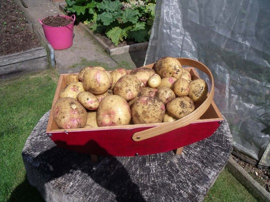 Our own potatoes