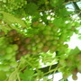 Grapes_2_
