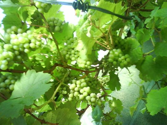Grapes__3_.jpg