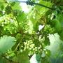 Grapes_3_