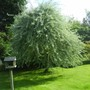 Pyrus salicifolia pendula (Pyrus salicifolia pendula)