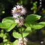 mentha aquatica (Mentha aquatica)