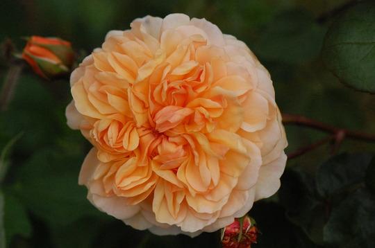 Rosa 'Port Sunlight (Rosa)