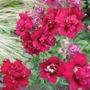 Red_butterfly_antirrhinum