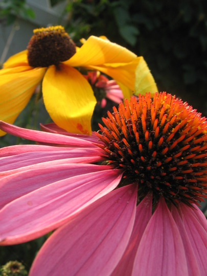 coneflower and blackeyed susan (echinacea)