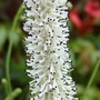 Plume of Sanguisorba Tenufolia.