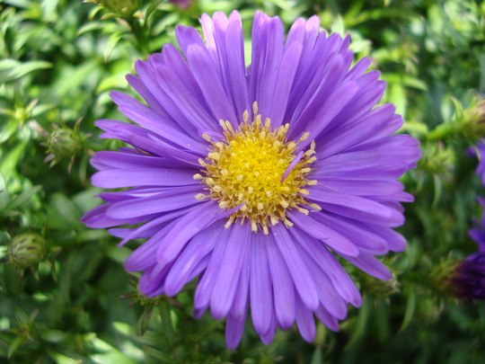Aster beautiful ...