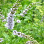 Mentha spicata Spearmint...blossoming (Mentha spicata)