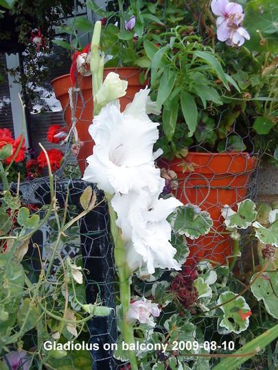 Gladiolus on balcony 2009-08-09.jpg (Gladiolus grandiflorus)