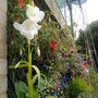 Gladiolus_on_balcony_on_2009_08_18