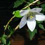 Codonopsis_himal_snow_1_1
