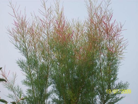 Tamarix Ramosissima (Tamarix ramosissima (Saltcedar) (Summer Glow))