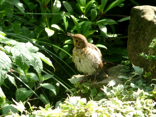 Newly fledged song thrush.