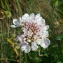 Pale pink pin cushion Scabious