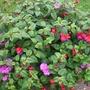 Fuchsia Blue Eyes and Geranium Rose Blue Sybil