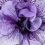 Petunia Tumbelina Priscilla