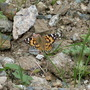 'Painted Lady' sunbathing
