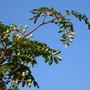 Rowan berries (Sorbus aucuparia x 'Xanthocarpa')