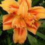 Daylily 'Kwanzo' (Hemerocallis fulva flore pleno 'Kwanzo')