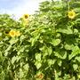 Sunflowers (Helianthus annus)
