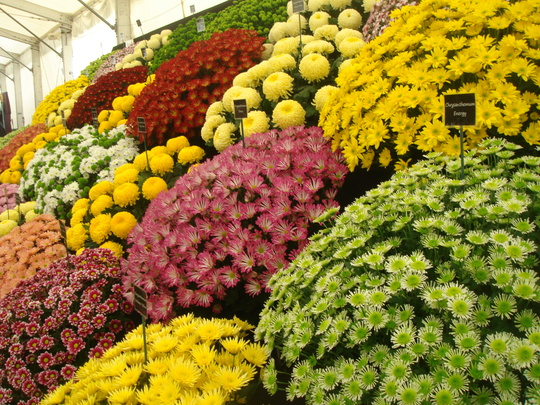 Chrysanthemum display - Southport Flower Show 2009