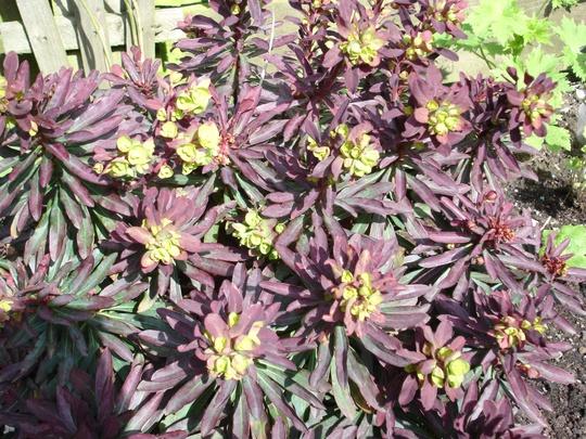 A garden flower photo (Euphorbia amygdaloides Rubra)