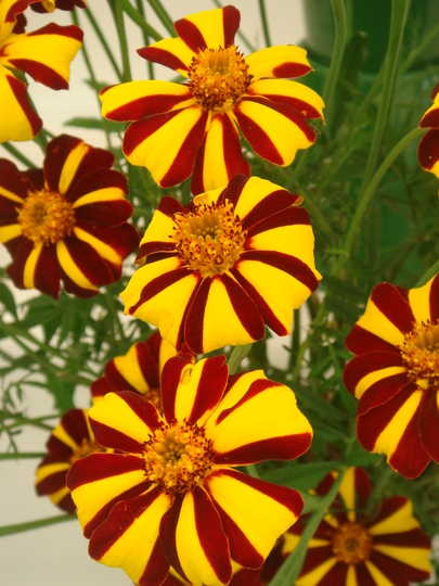 Marigold 'Striped Marvel' - Southport Flower Show 2009