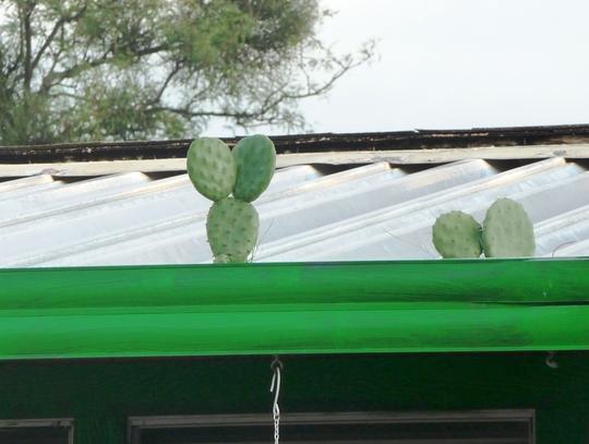 Roof Grown Cactus