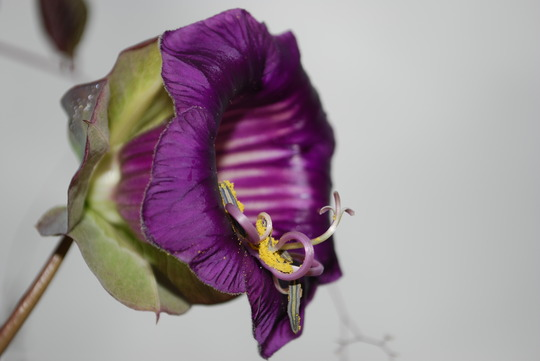Cup and saucer vine. (Cobaea scandens (Cup and saucer plant))
