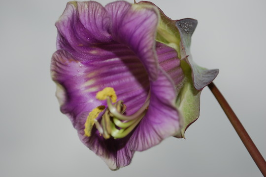 This time from another bud. (Cobaea scandens (Cup and saucer plant))
