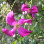 Unknown_clematis_viticella