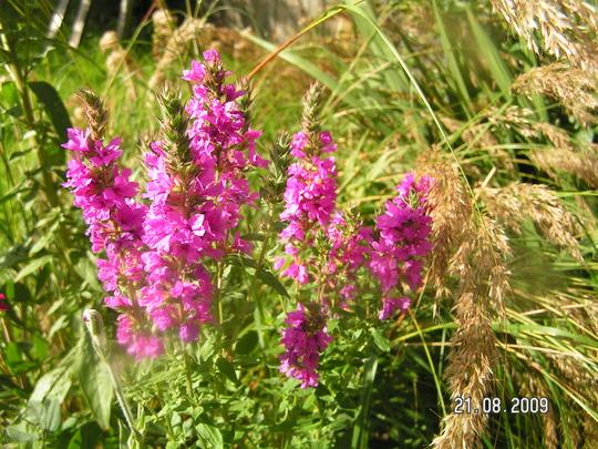 Lythrum salicaria (Lythrum salicaria)