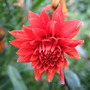 Dahlia_city_of_rotterdam_new_flower