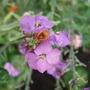 Erysimum linifolium 'Variegatum' (Erysimum linifolium 'Variegatum')