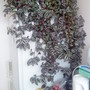 Wandering_jew_trandescantia_zebrina_on_fridge_2009_06_23