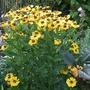 Helenium 'Flammenrad' (Helenium autumnale (American Sneezeweed))