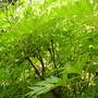 Paeonia lutea (Tibetan Paeony) (Paeonia lutea (Tibetan Paeony))