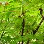 Paeonia lutea (Tibetan Paeony) (Paeonia lutea (Tibetan Peony))