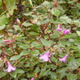 Rhododendron cinnabarium (Rhododendron cinnabarium)