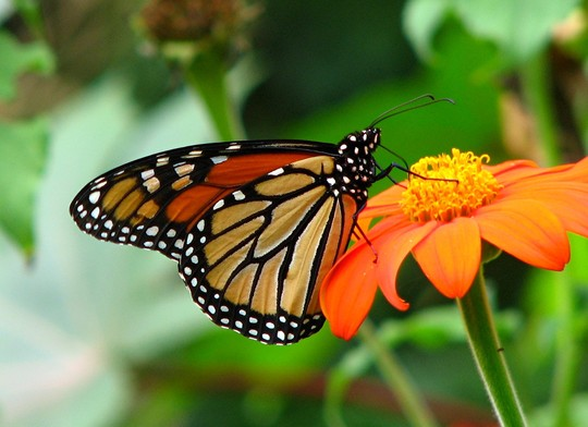 Monarch,  side view