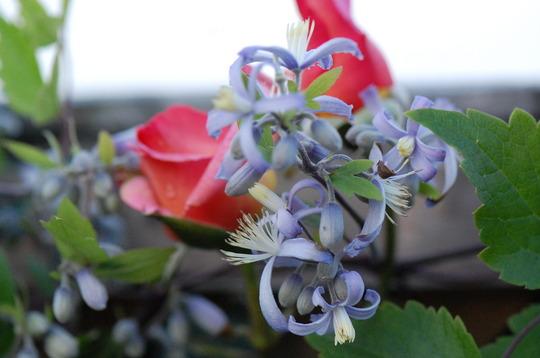 Clematis Jouiniana 'Praecox' (Clematis heraclefolia)