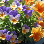 Violas and pansies.