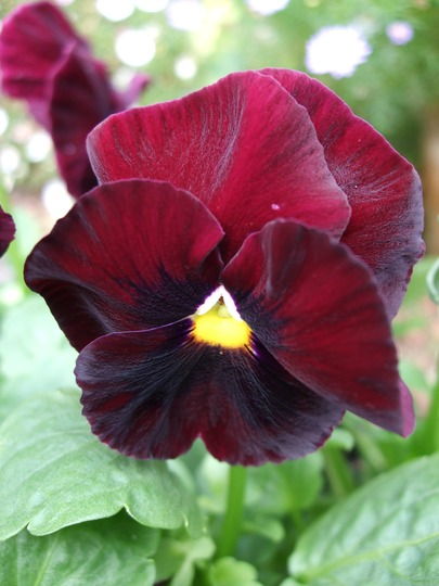 Pansy 'Clear Rose'
