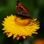 butterfly on  Helichrysum