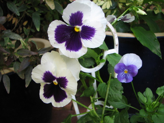 Pansies - with a little viola