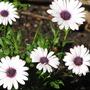 Osteospermum Eclonis 'Passion'  (Osteospermum ecklonis)