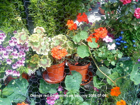 Pelargonium & variegated Geranium on railings