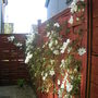 Early Flowering White Clematis