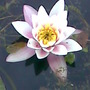 Water Lily  (Nymphaea odorata (Water lily))