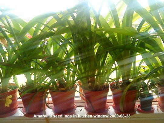 Amaryllis in kitchen window 2009-08-23.jpg (Amaryllis Hippeastrum)